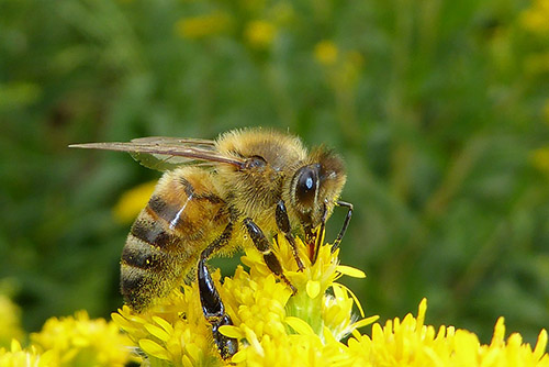 An image of a honey bee, gathering nectar. Bees hold an important place in folklore.