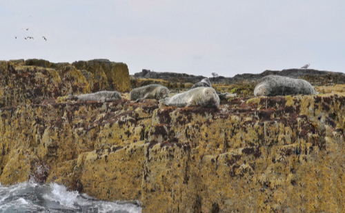 An image of the Farne Island seals.