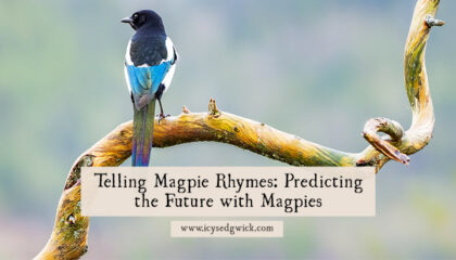 We've all heard some variation on the magpie rhymes that predict the future by counting birds. But why are magpies associated with bad luck?